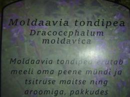 Mõnus taimetee - Moldaavia tondipea - UUS
